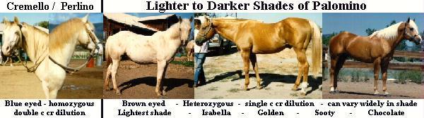 The Palomino Buckskin Cream Dilution Gene Is Not Associated With Striping In The Majority Of