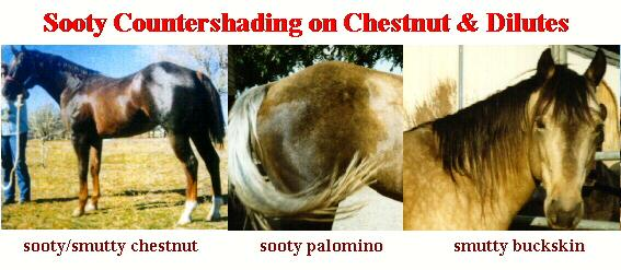 Sooty On Chestnut Horse